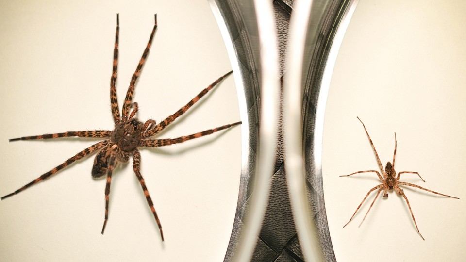 Ultimate sacrifice: Spider's post-sex cannibalism aids offspring
